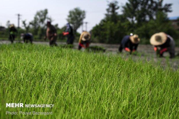 امکان تولید کمباین برنج در داخل کشور وجود دارد